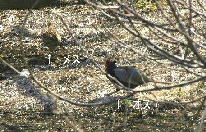 雉のカップル