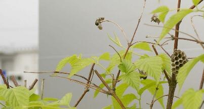 シロヤマブキに巣