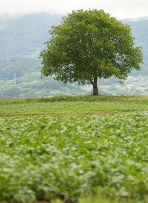 馬鈴薯の畑