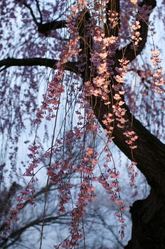 桜まつりの期間中はライトアップされます