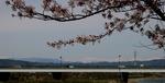 北アルプスと桜