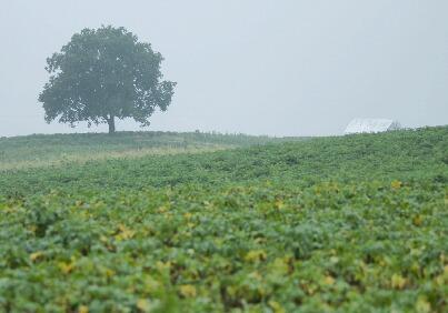 小雨の中の胡桃の木